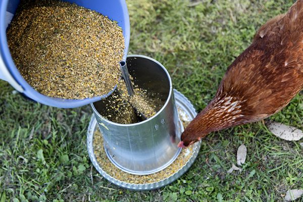 Chicken feeder gets filled with feed