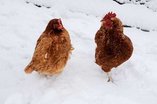 How To Treat A Chicken With A Cold