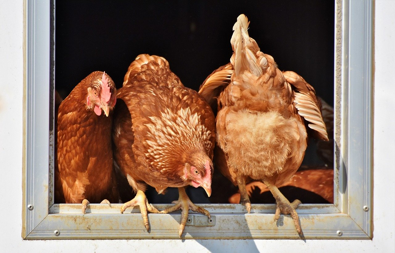 Stress That Can Stop Hens Laying – Suddenly!